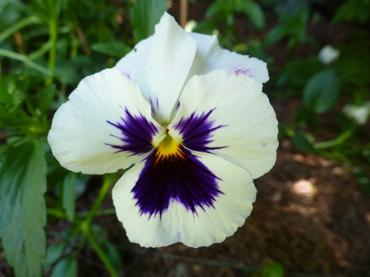 pansy garden floral free photo