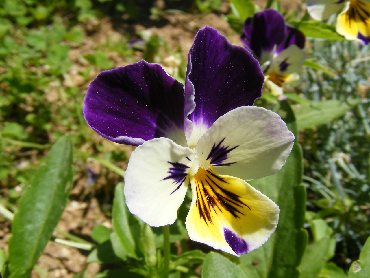 pansy flowers blossoms free photo