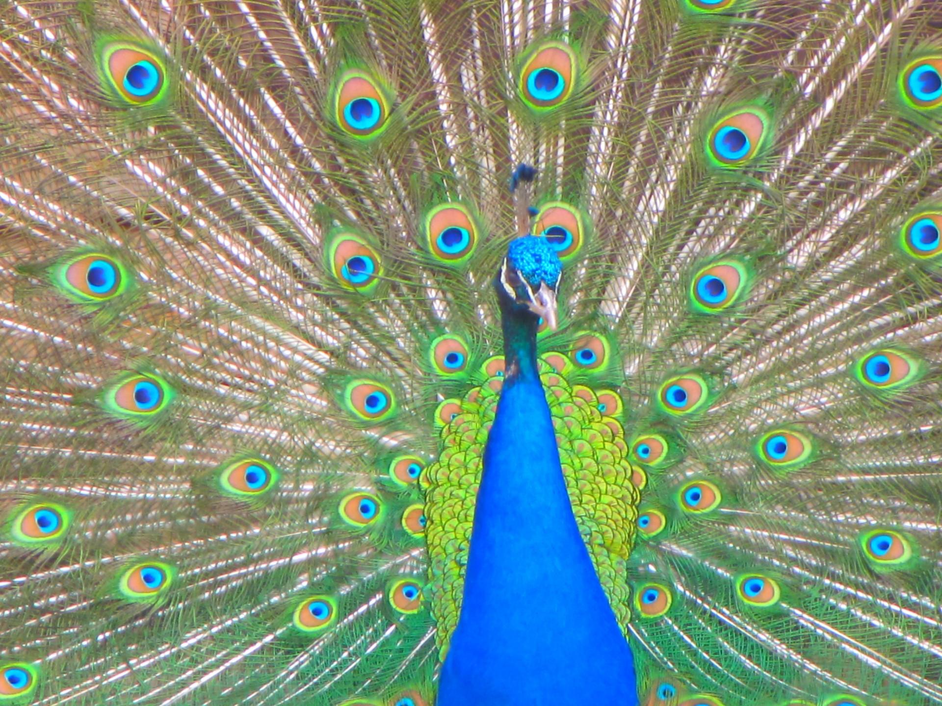 Le Paon Qui Fait La Roue bird,peacock,tail,color,green - free image from needpix