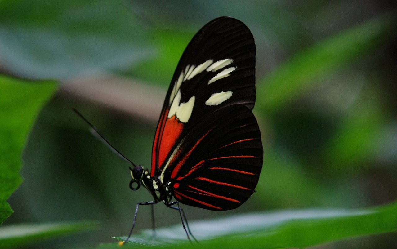 papilio rumanzovia butterfly free photo