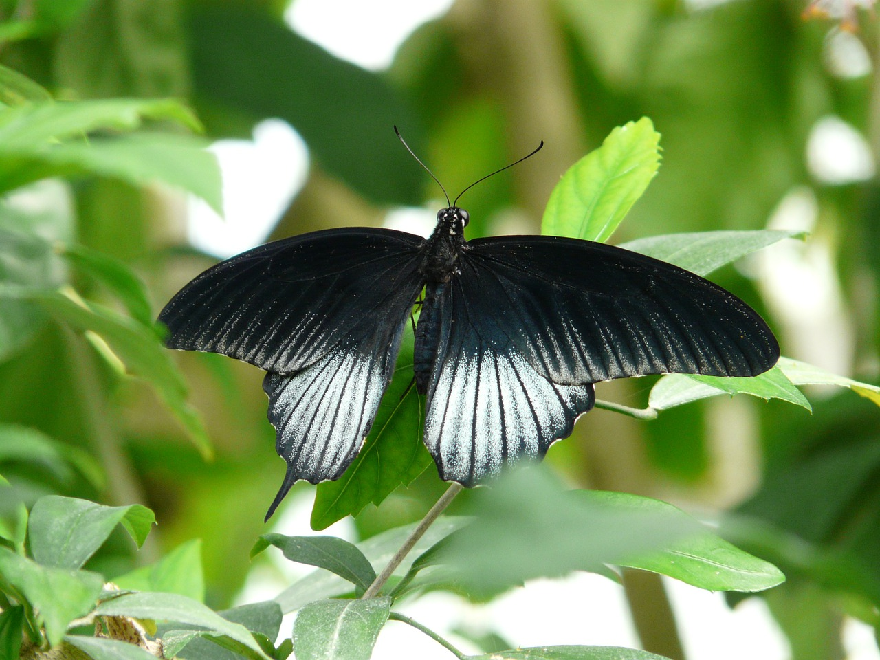 papilio ascalaphus butterfly black free photo