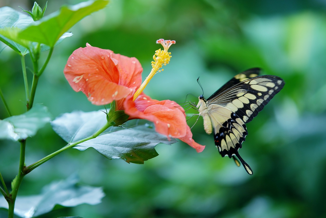 papilio cresphontes butterfly animal free photo