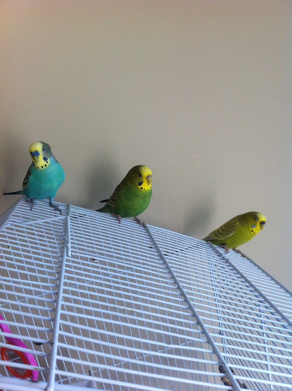Parakeets,cute,male,female,green - free photo from needpix com