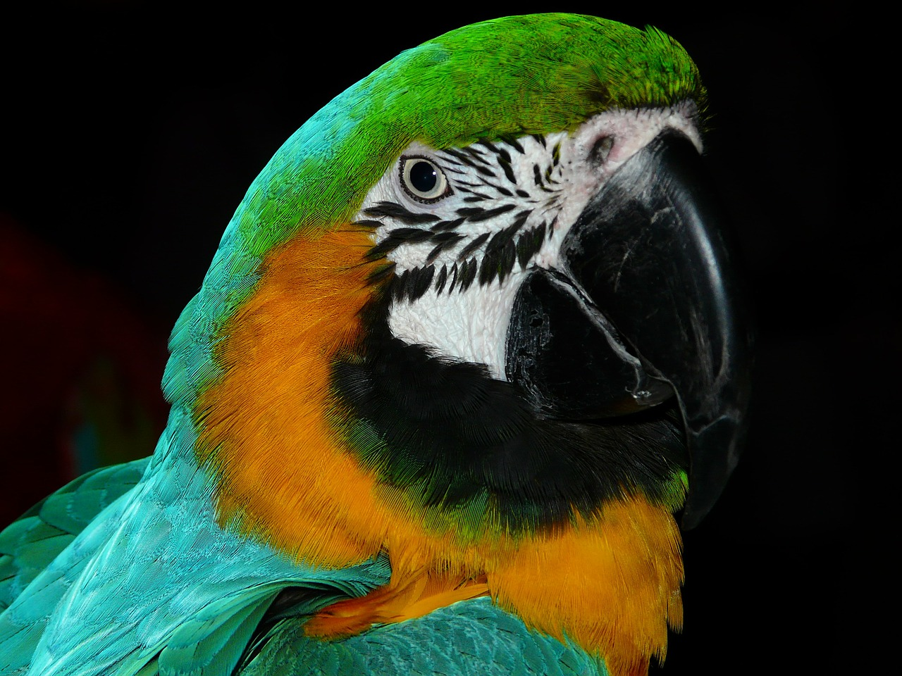 parrot bird animal free photo