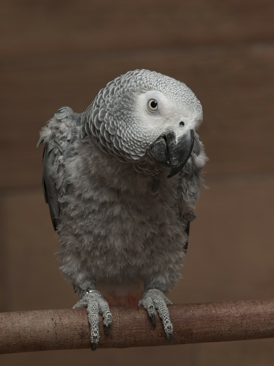 parrot african grey free photo