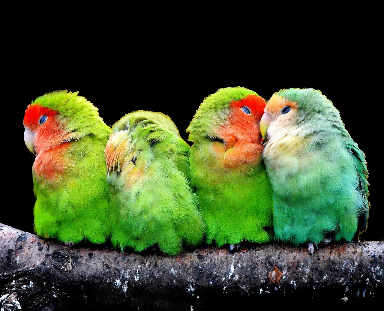 parrots canaries birds free photo