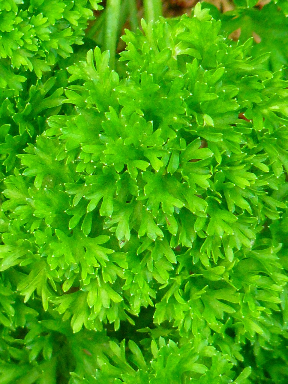 parsley green spice free photo