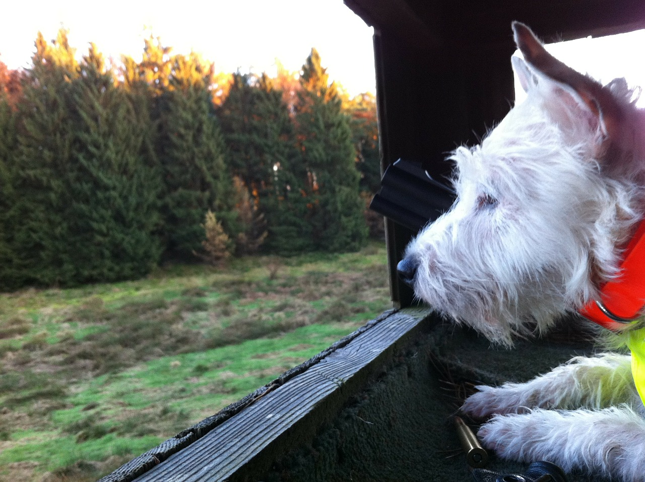 parson russel terrier free photo