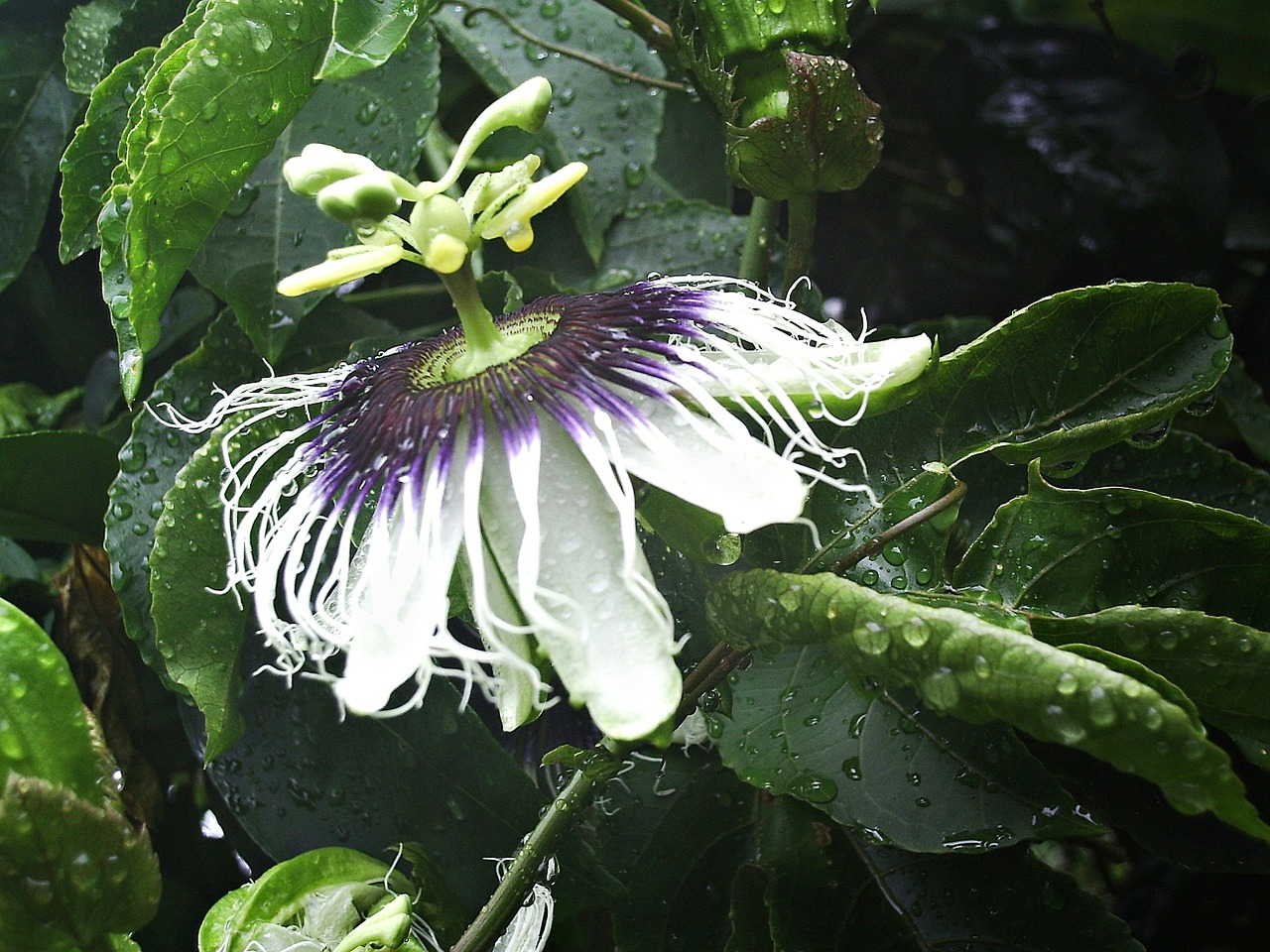 passion flower flower passiflora free photo