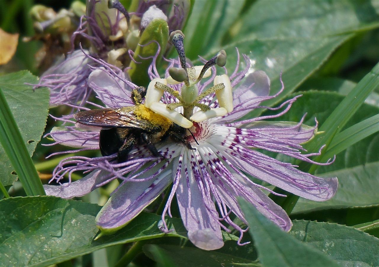 Passion Flowerpollen Loaded Bumblebeeflowerwildflowerwild Free