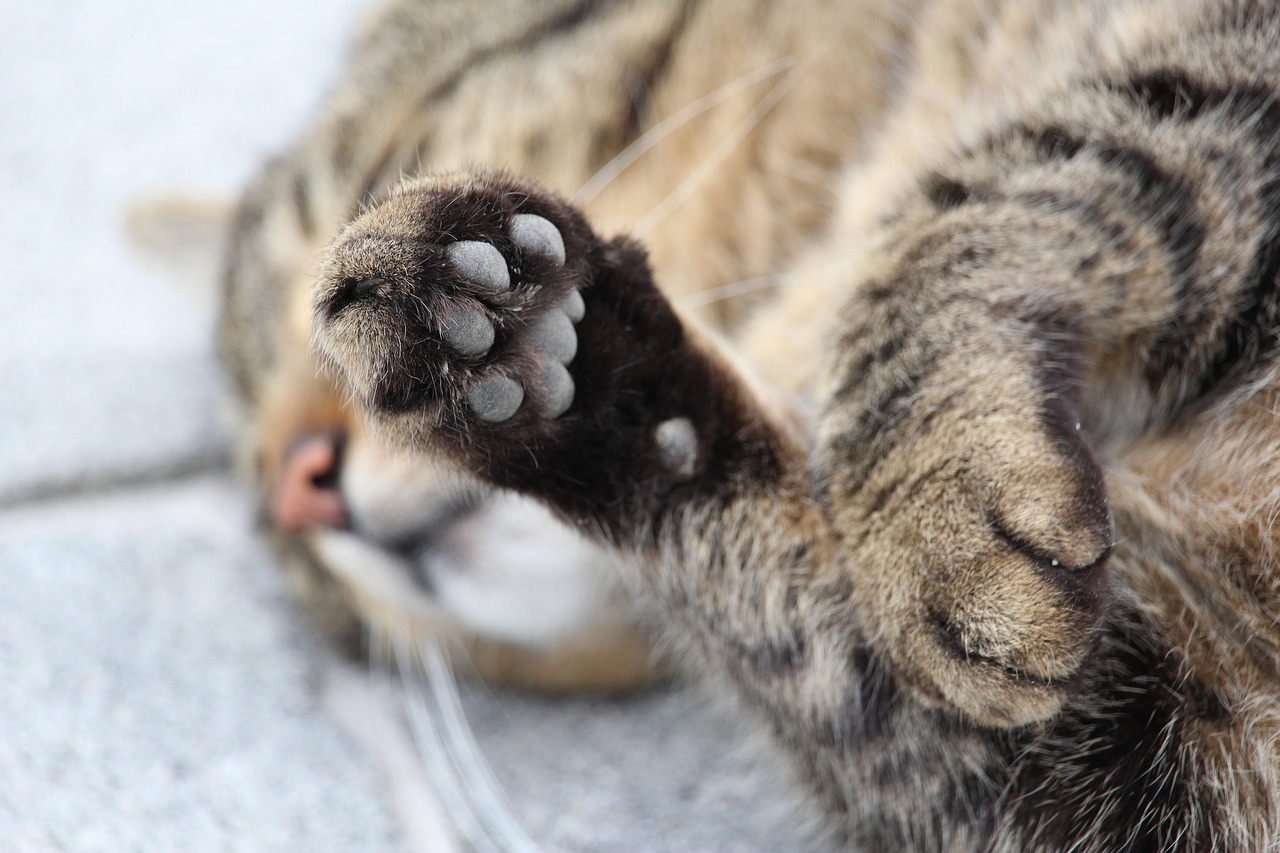 paw cat's paw cat free photo