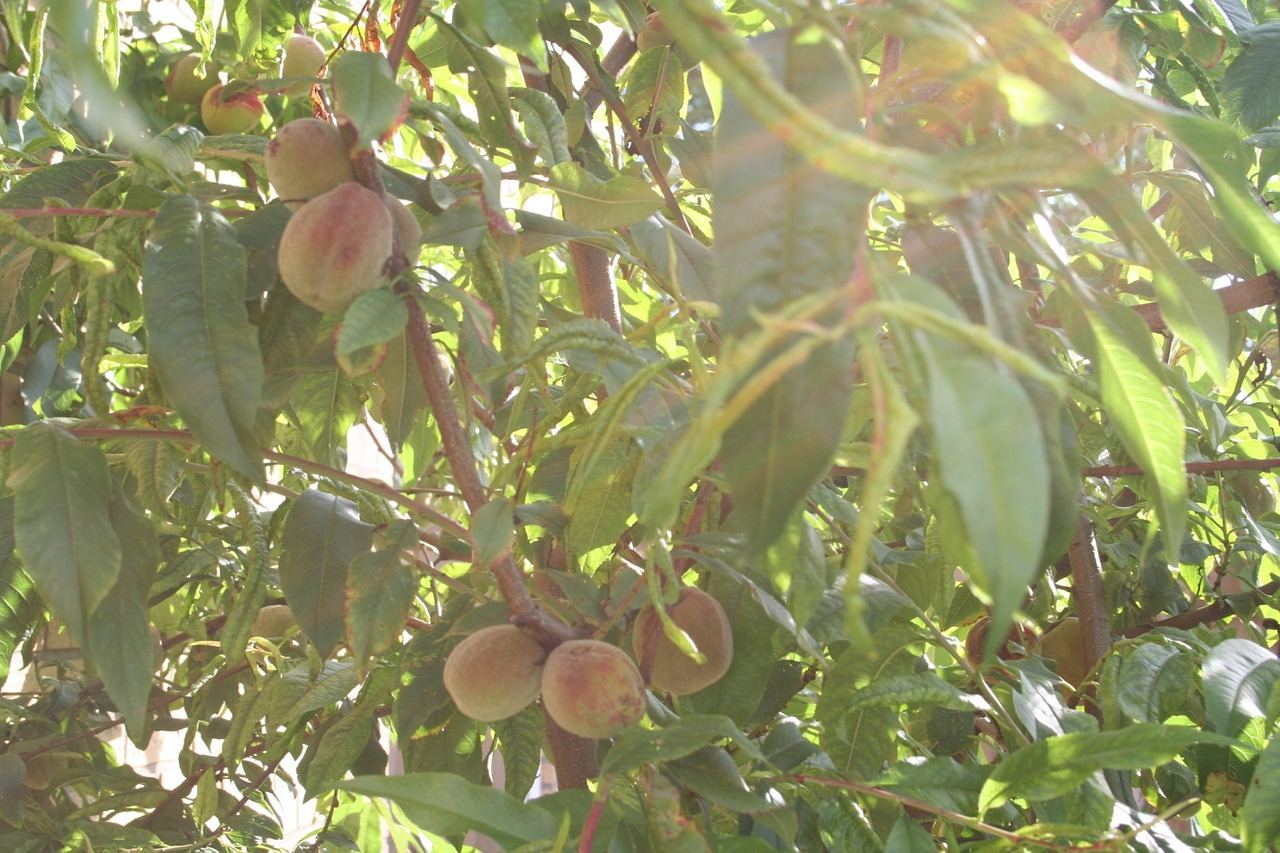 peach witvlezige fruit tree netherlands free photo