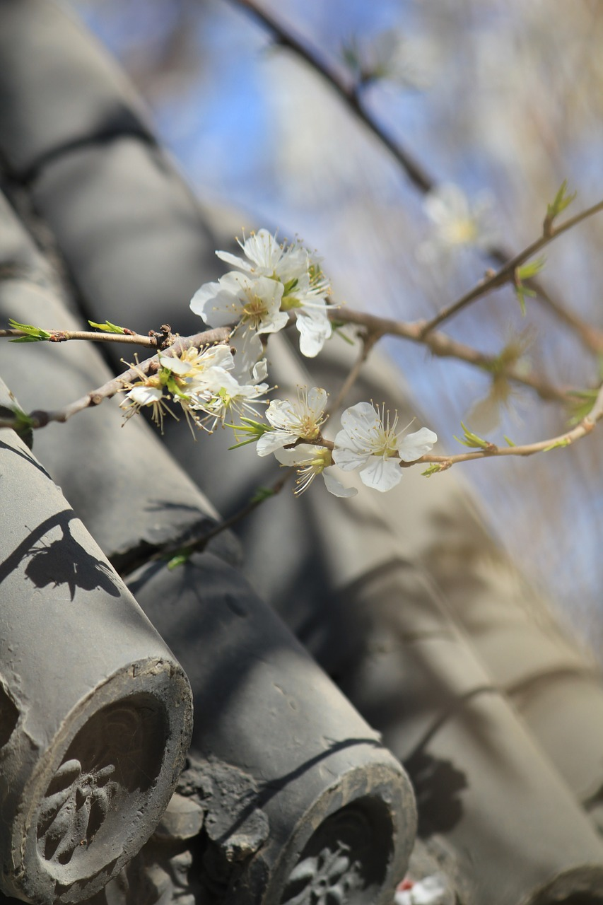 peach blossom peach embankment tianjin hongqiao free photo
