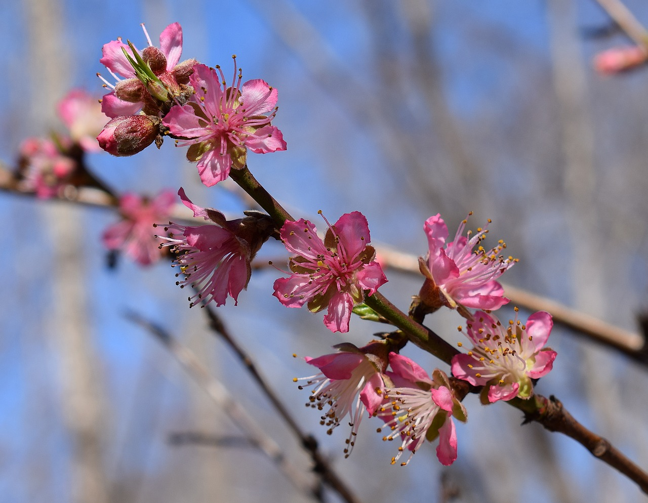 peach blossoms peach tree blossom free photo