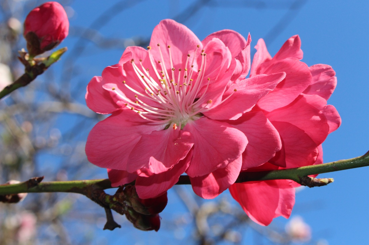 peach blossoms  fruit tree blossoms  ornamental free photo