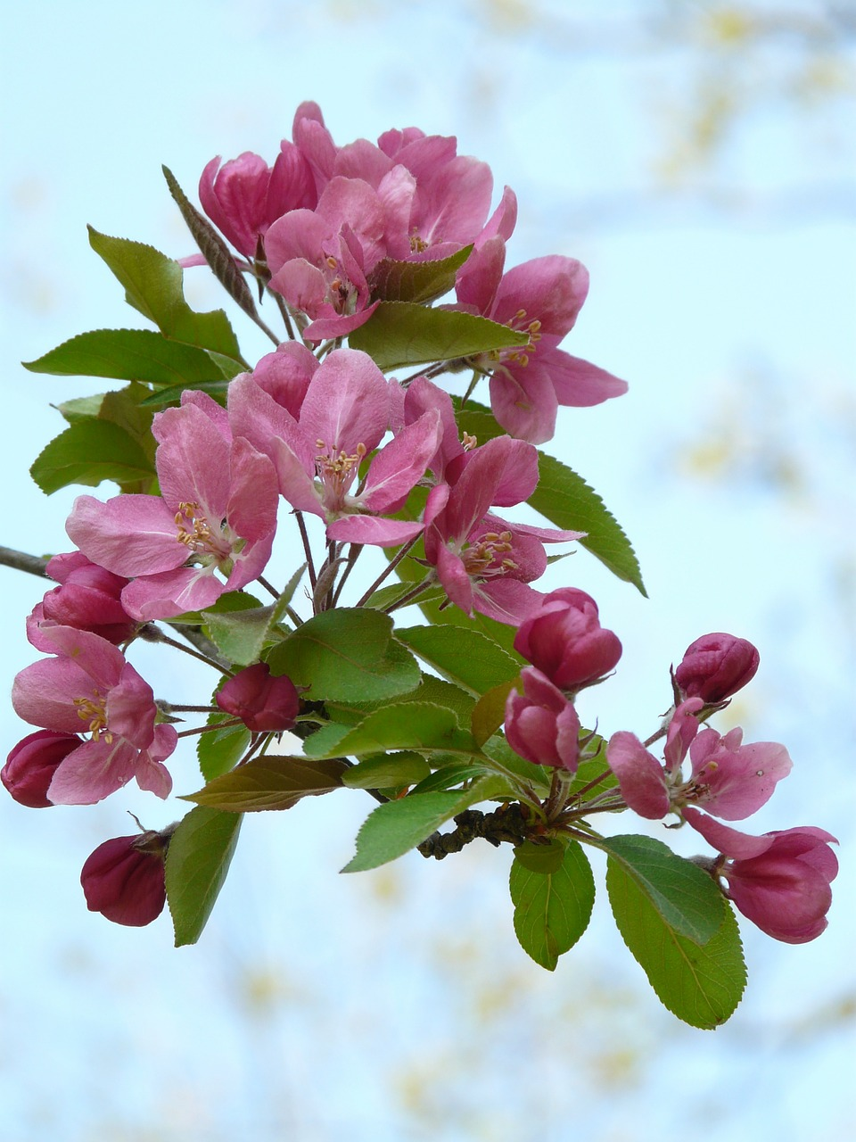 peach tree peach tree blossom bloom free photo