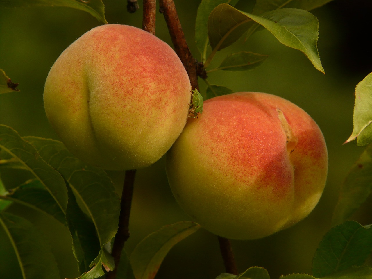 peaches peach tree malum persicum free photo