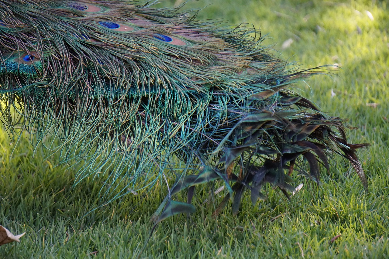 peacock ave feathers free photo
