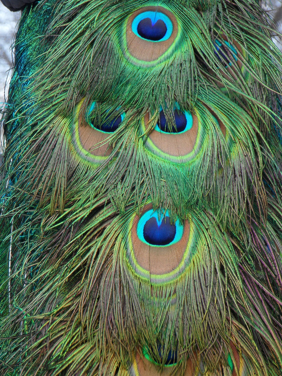 peacock peacock feathers feather free photo