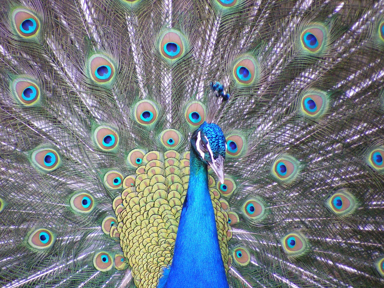 peacock bird wingtip toys free photo