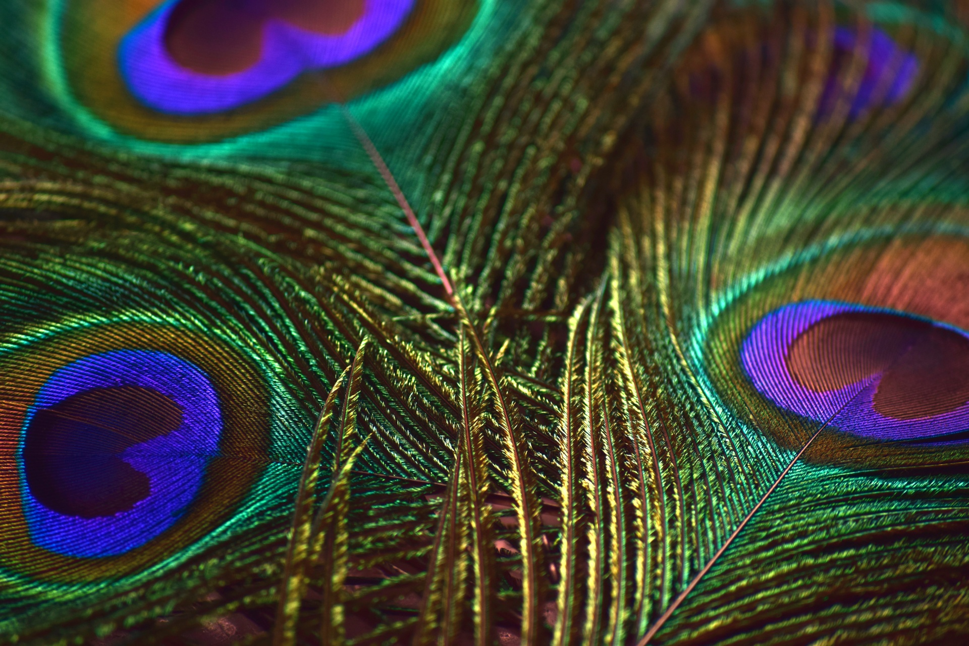 Feather,colors,peacock,bird,animal - free photo from needpix com