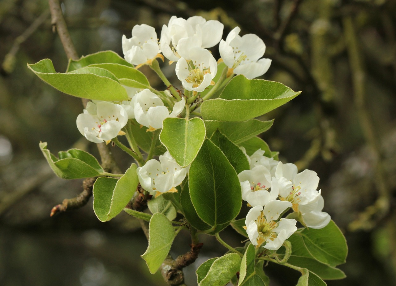 pear blossom white tender free photo