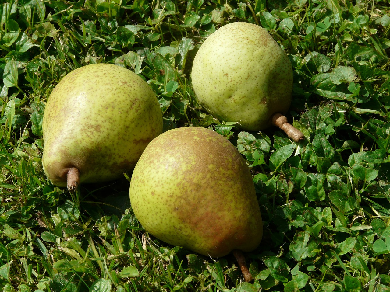 pears meadow harvest free photo