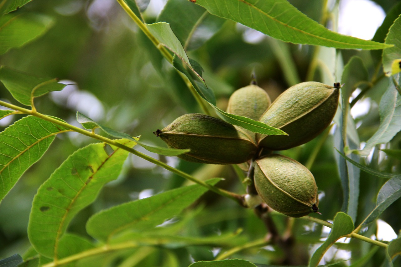 pecan tree pecans agriculture free photo