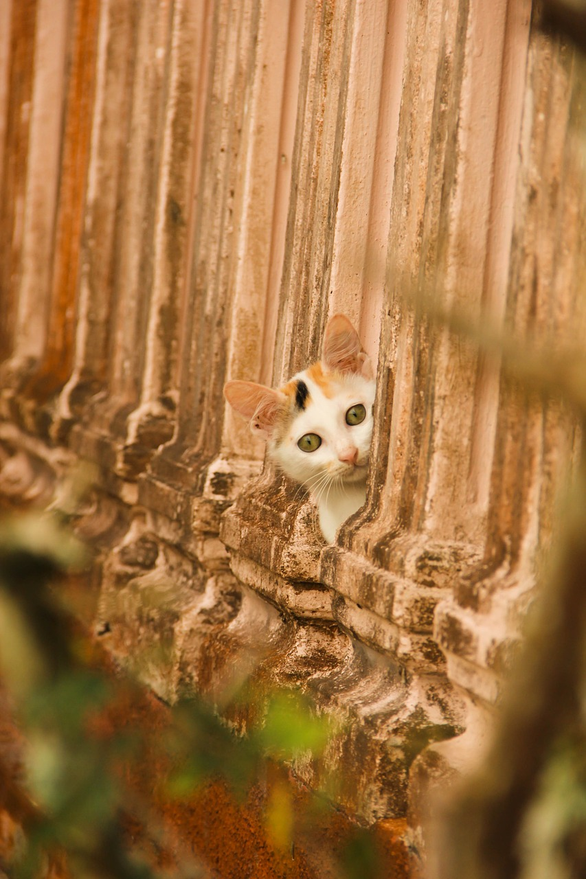 peek cat pet free picture