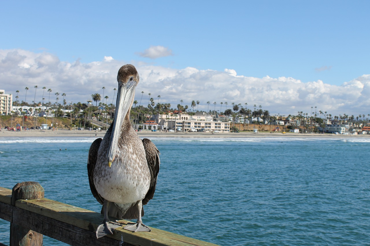 pelican seaside bird free photo