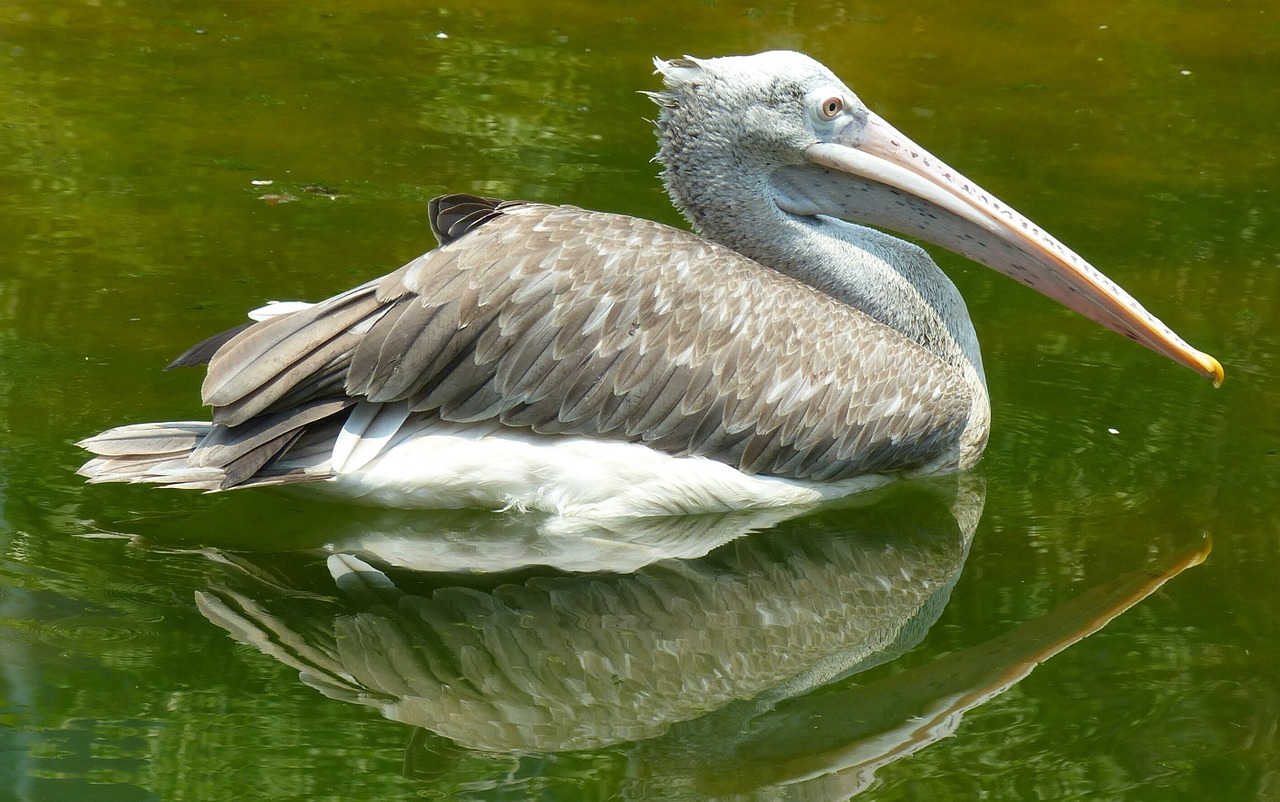 pelican bird nature free photo