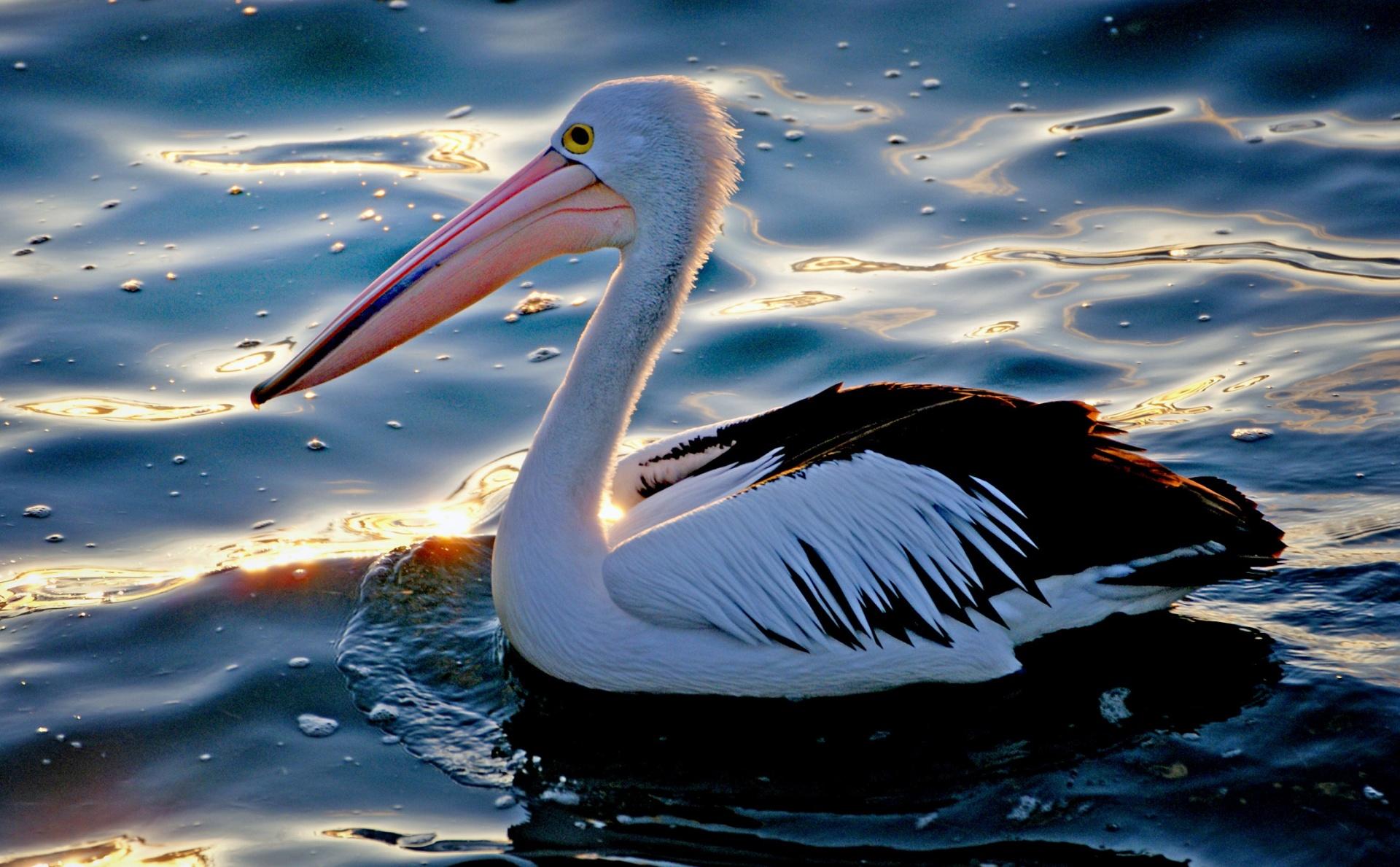 pelicans - 1024×635
