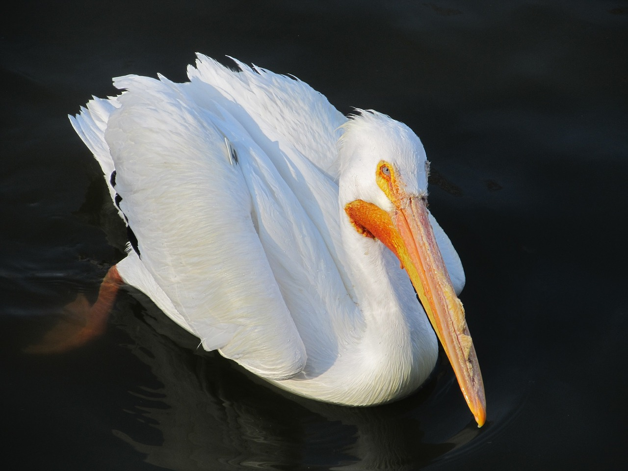 pelican bird wildlife free photo