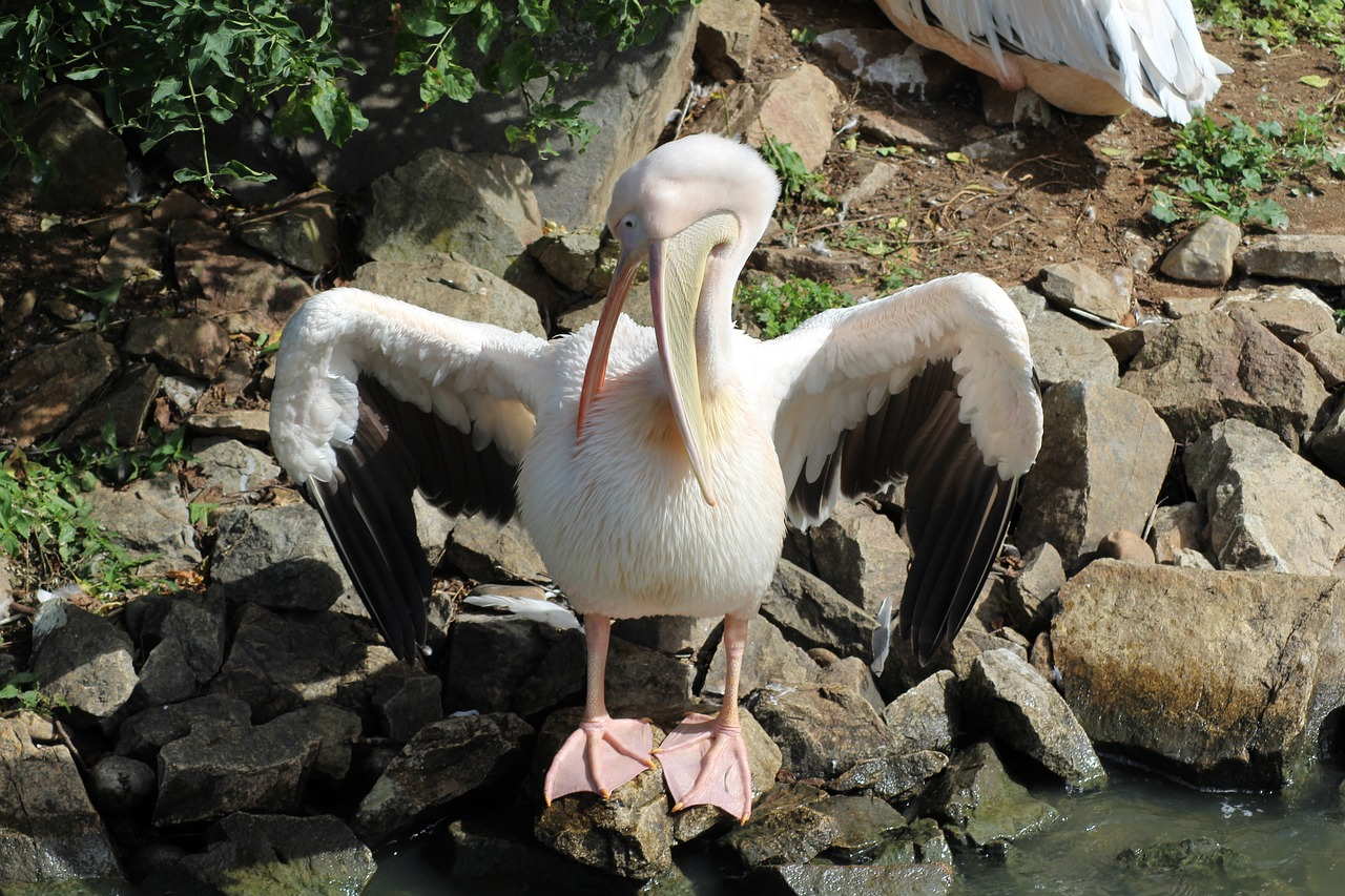 pelican bird zoo deep free photo