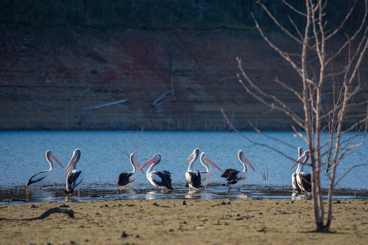 pelican  lake  nature free photo