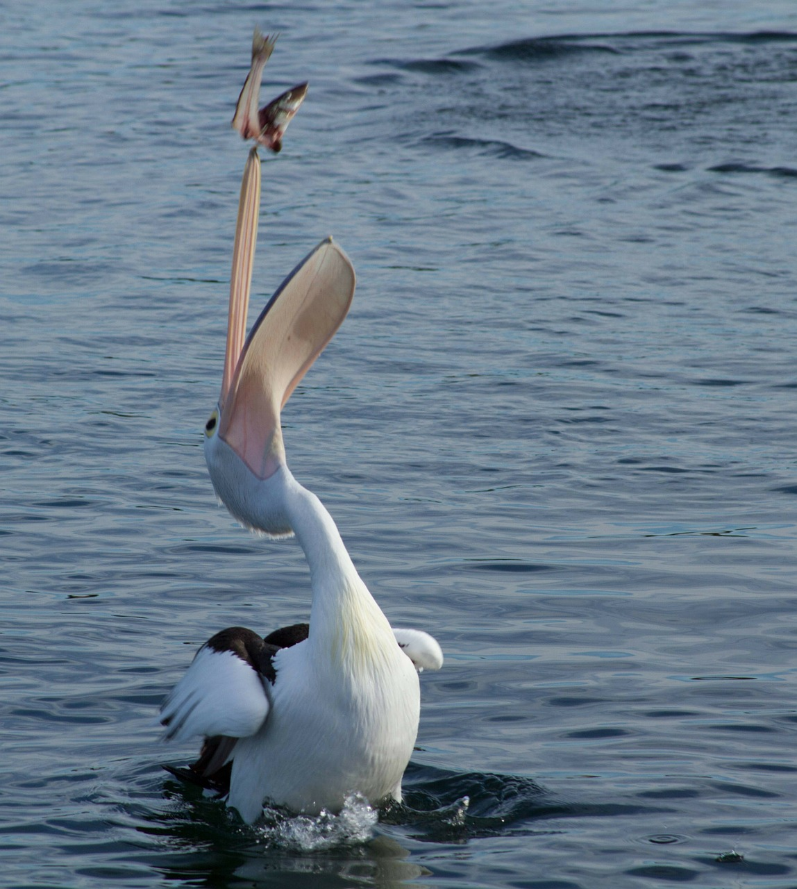 pelican catching fish free photo