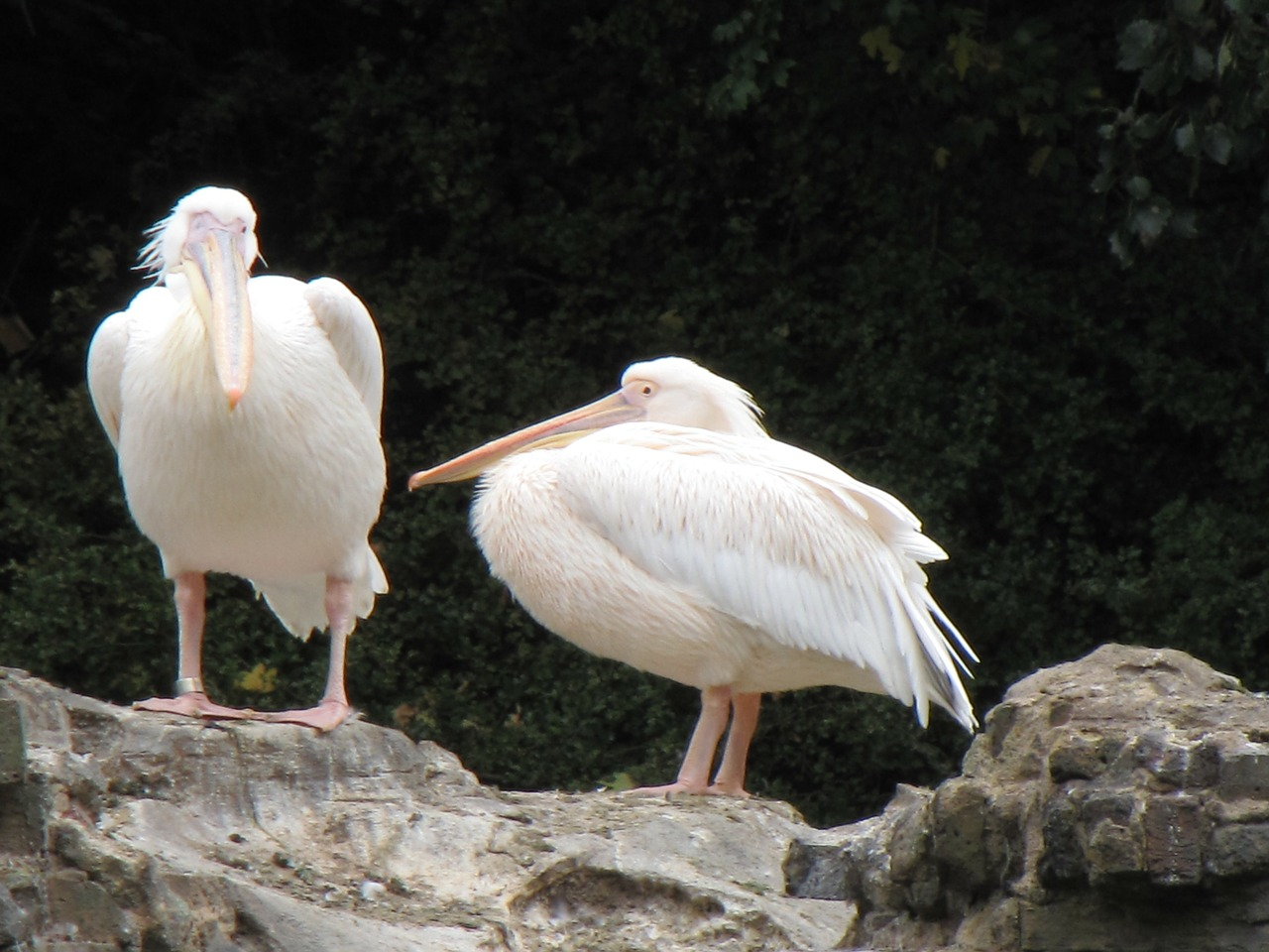 pelicans birds white free photo