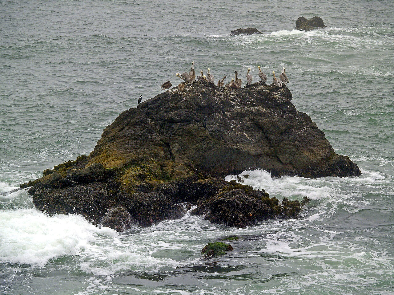 pelicans rock water free photo