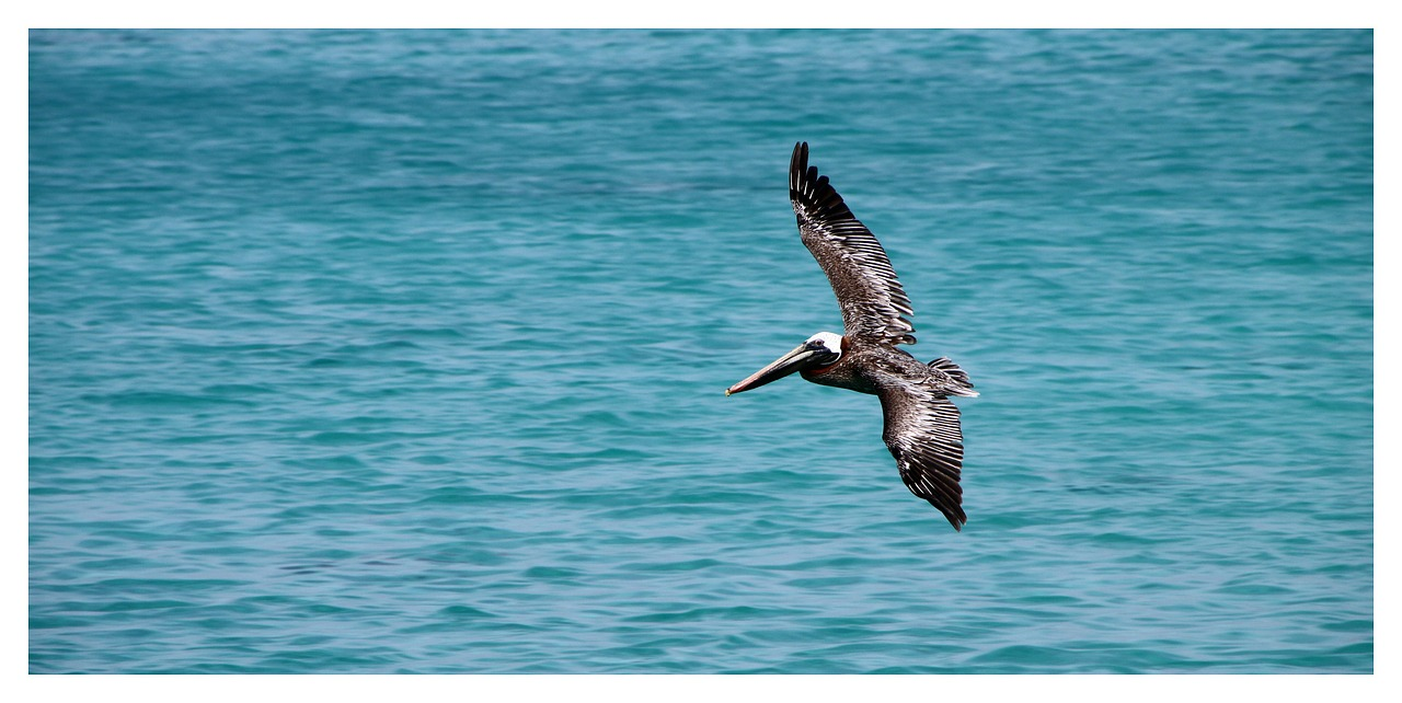 pelikan bird brown pelican free photo