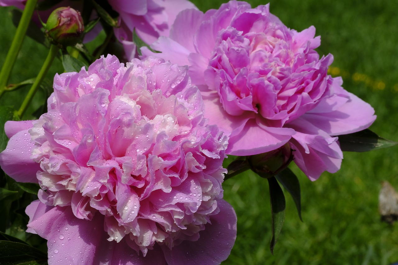 peony  rose  wet free photo