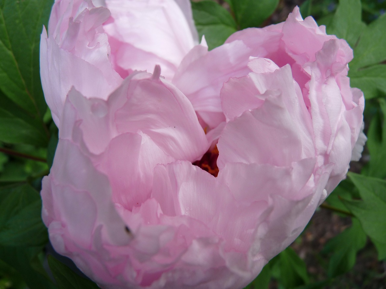 peony pink tender free photo