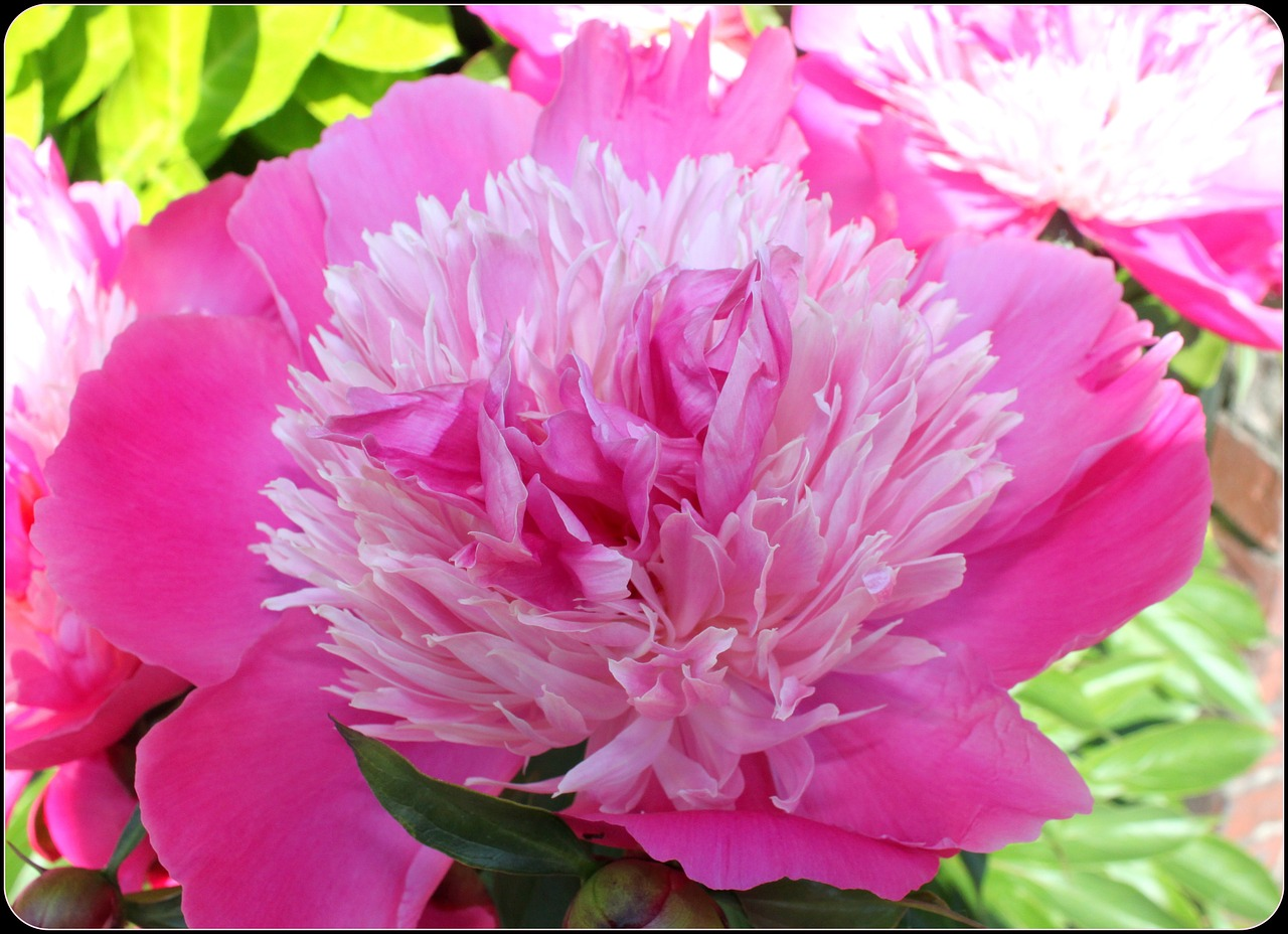Peonypinkflowerblossomsingle Free Photo From Needpix