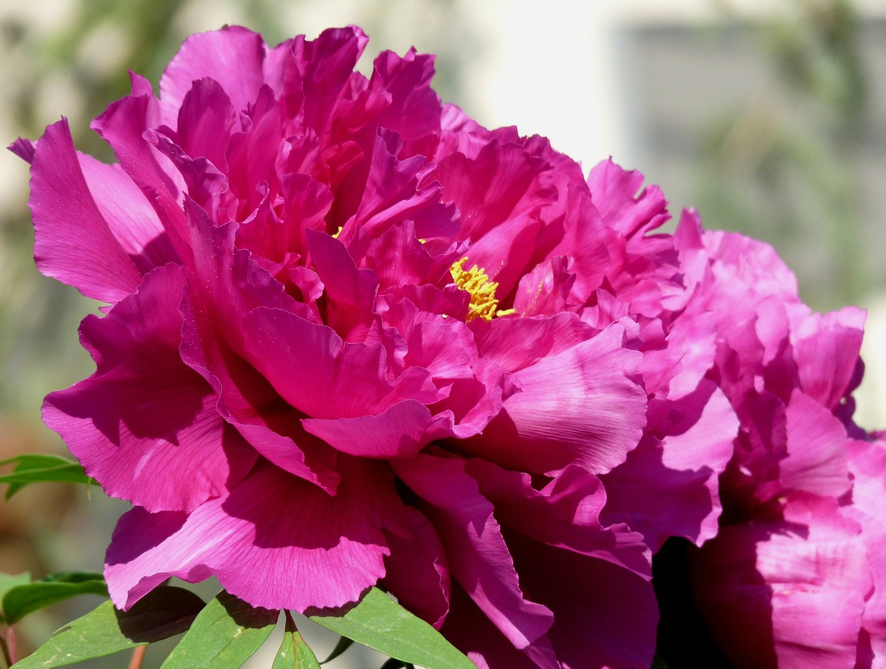 peony full bloom red free photo