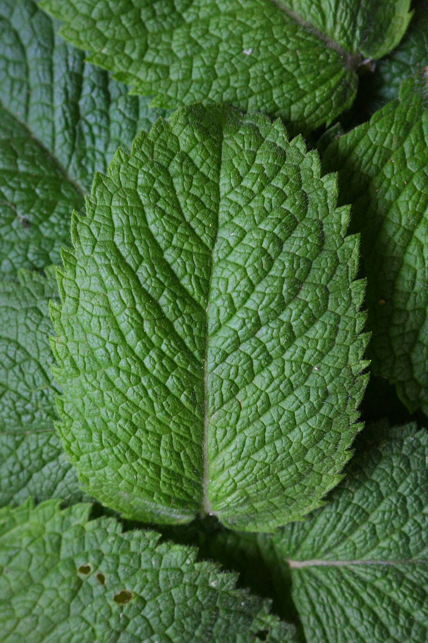 peppermint mint herbs free photo