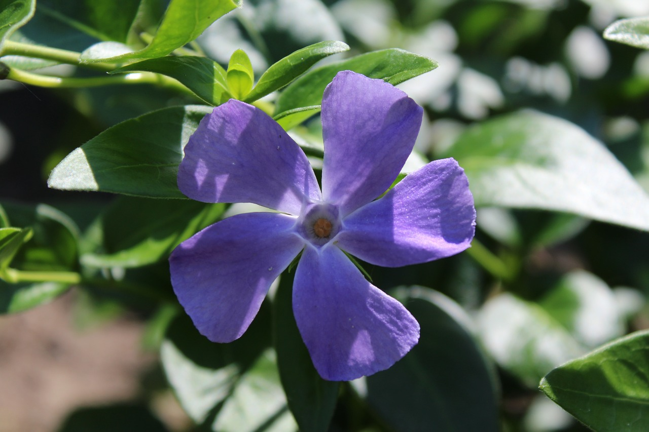 Periwinkle,blossom,bloom,purple,bush - free image from needpix.com