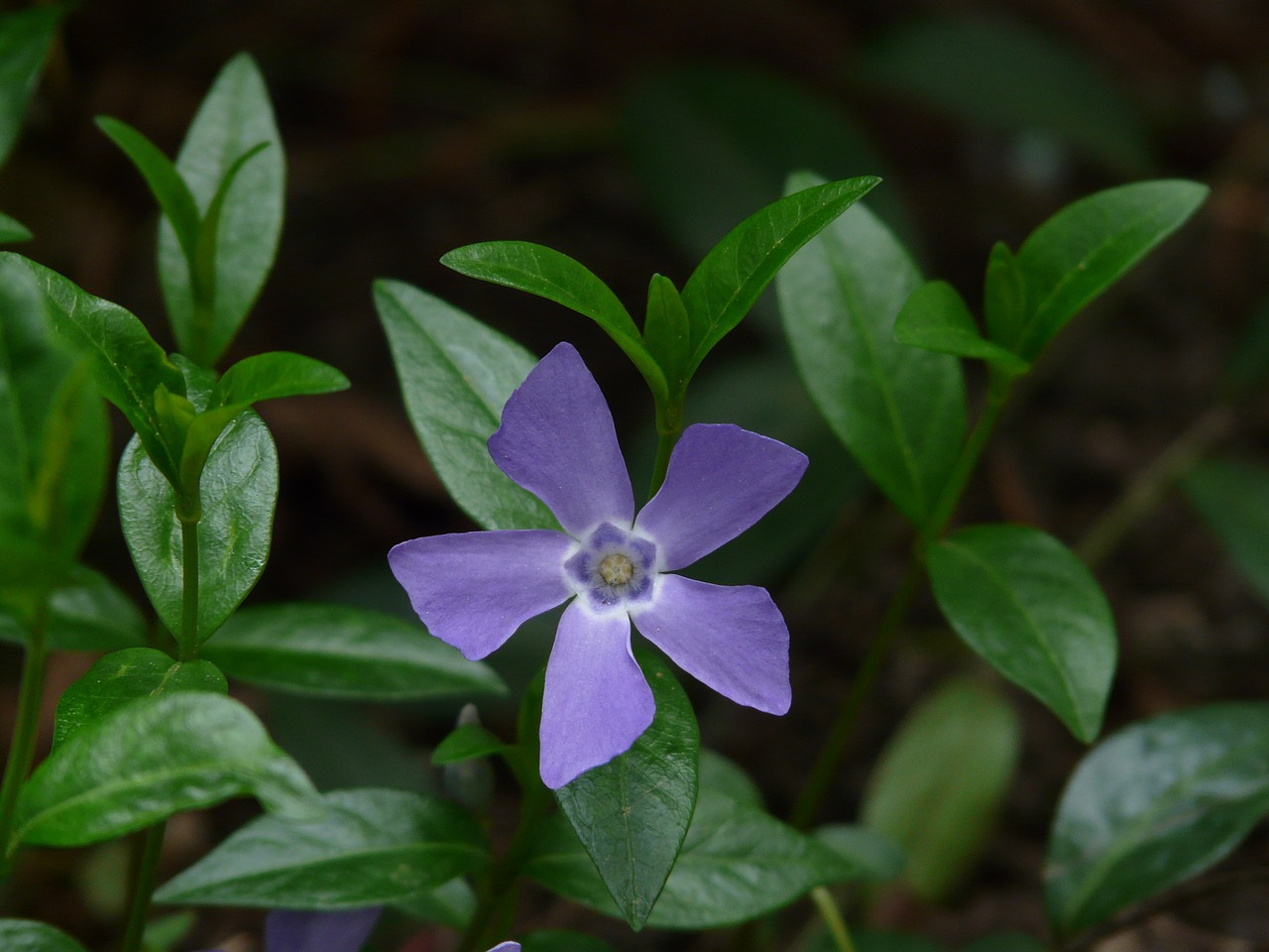 periwinkle blossom bloom free photo