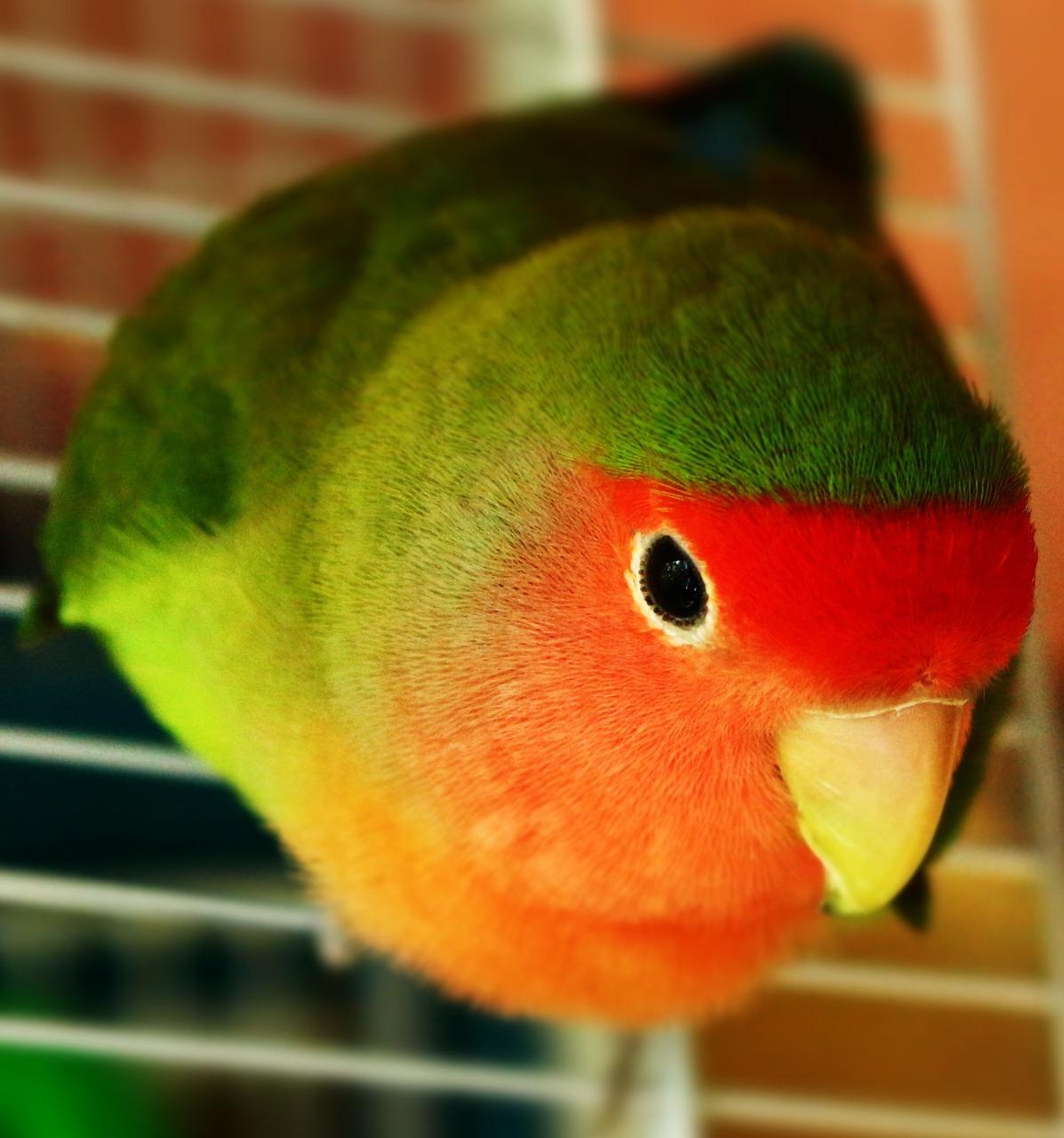 Resultado de imagen para parrot pet