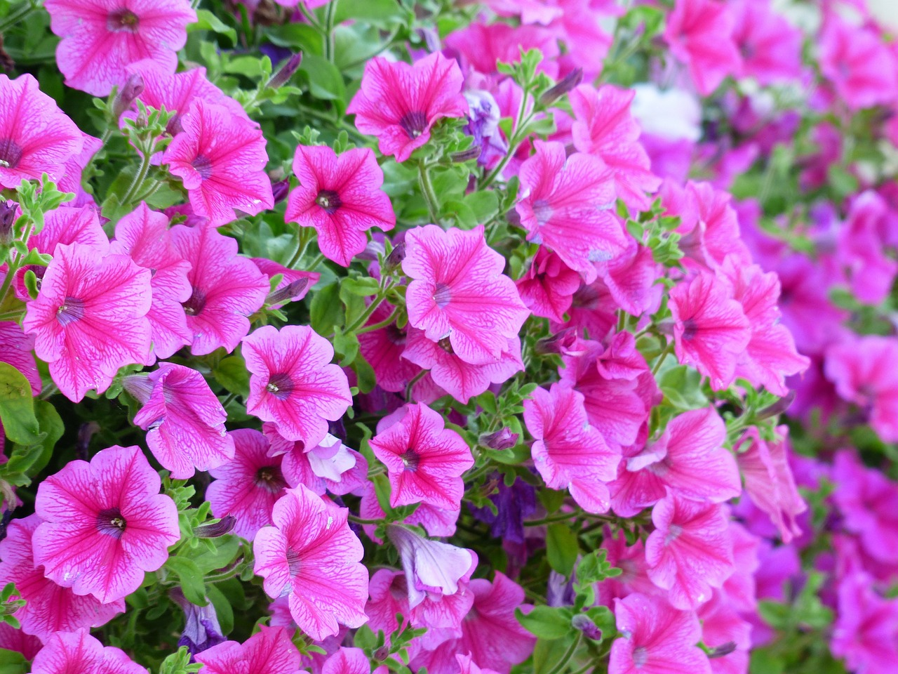 petunia flower blossom free photo