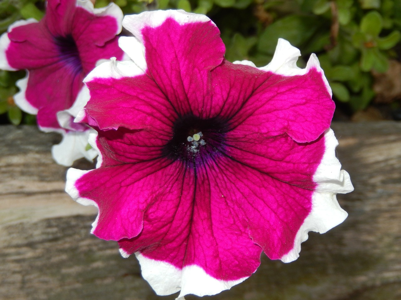 petunia,flowers,nature,free pictures, free photos, free images, royalty free, free illustrations