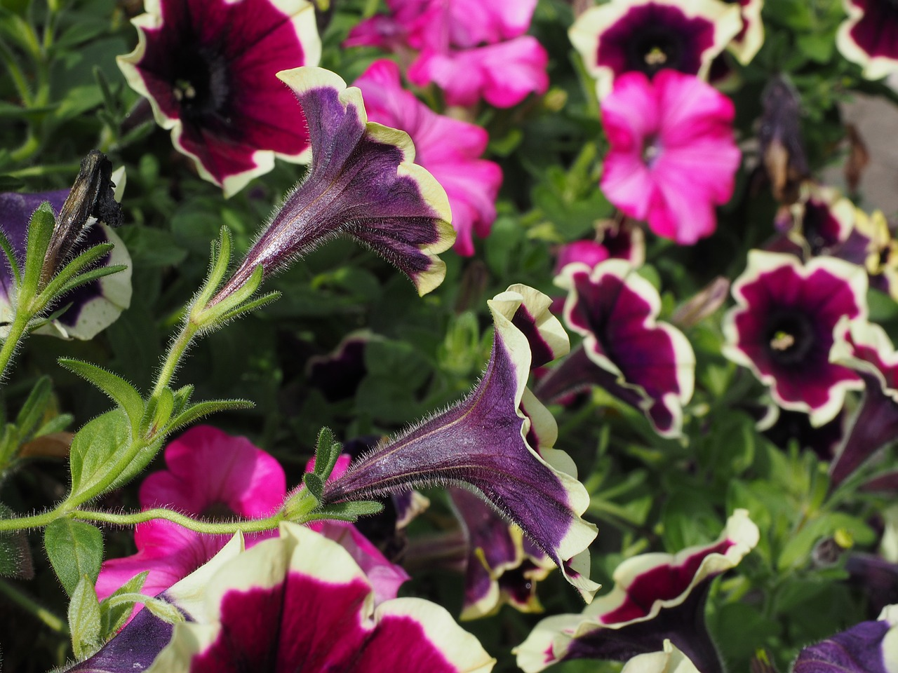 petunia flowers purple free photo
